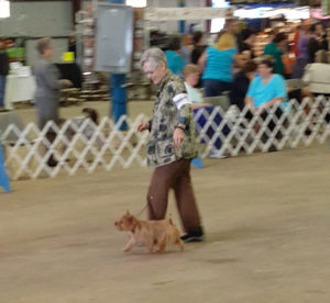 Judi showing Norwich Terrier Gabby at the Austin Dog Show.