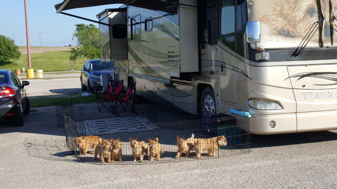 Norwich Terriers camping at the Austin Show.