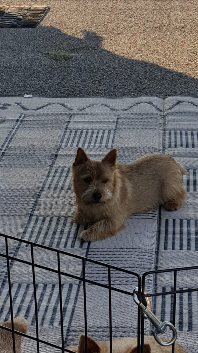 Dexter, a Norwich Terrier, snoozing.