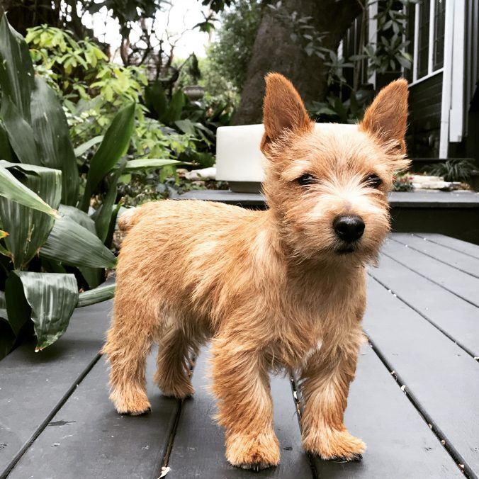 Norwich Terrier Winston at home on his deck.