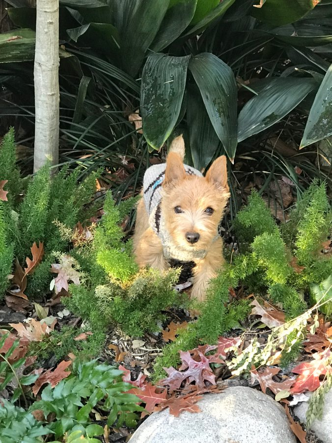 Norwich Terrier Winston in his sweater