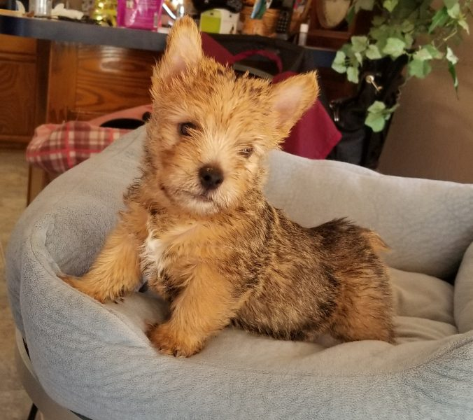 Norwich Terrier Puppy Jerry
